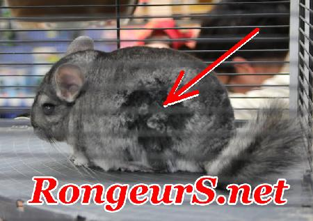 Fur chewing Trychophagie du Chinchilla