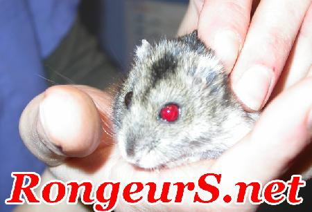 lapin albinos yeux rouge