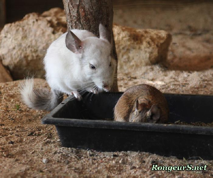 cohabitation chinchilla octodon